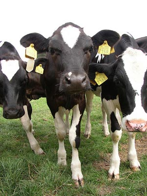 These are happy dairy cows